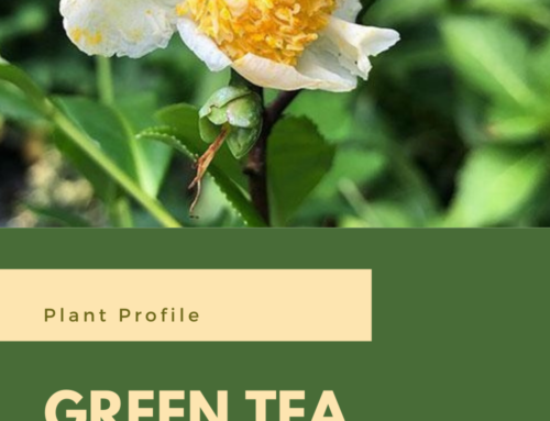 Plant Profile: Green Tea Plant (Camellia sinensis)